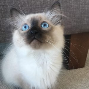 Ragdoll Cats for Sale